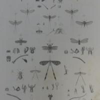 Névroptères, pl.2 : Libellules, Éphémères, Némoptères